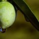 Aceite de Oliva Virgen Extra de Sierra Espadán – Único en el Mundo